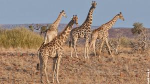 Le giraffe curiose