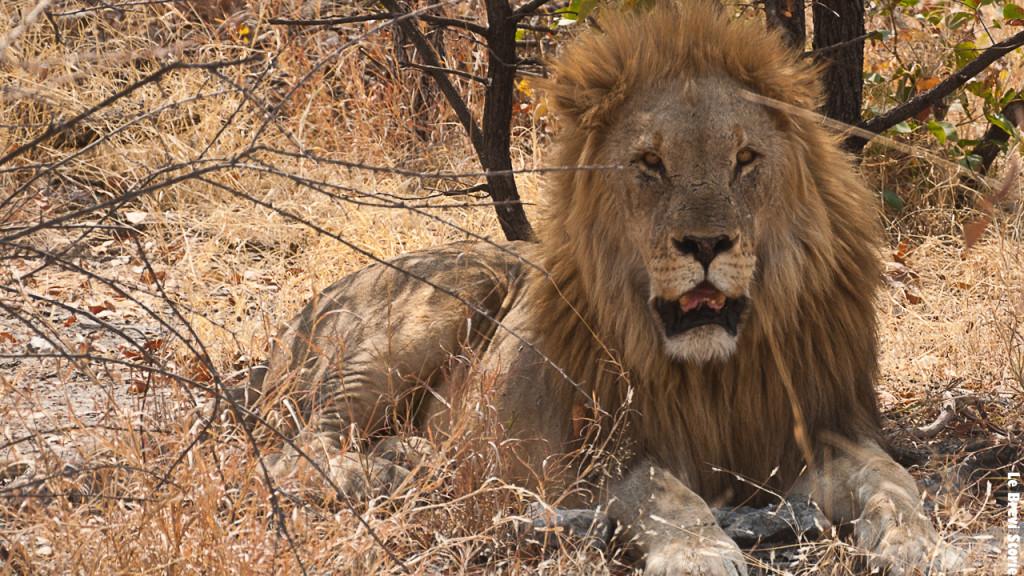 Il re della savana